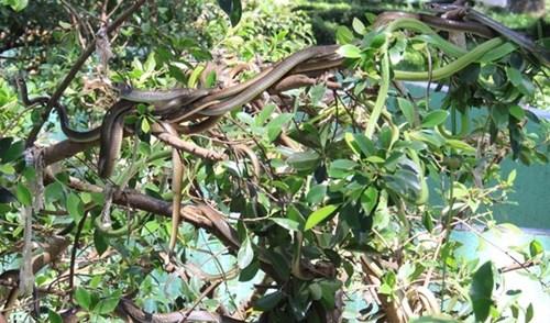 Cận cảnh hàng trăm con rắn lục đuôi đỏ ngụy trang trên cây