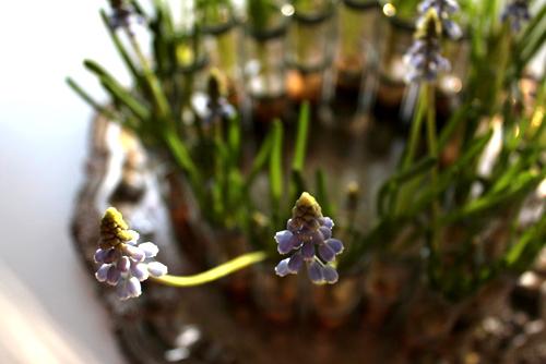 Trồng hoa chuông xanh chào xuân rực rỡ - 10