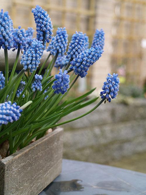 Trồng hoa chuông xanh chào xuân rực rỡ - 11