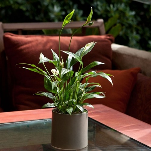 10 loại cây cảnh dễ trồng trong nhà - 1