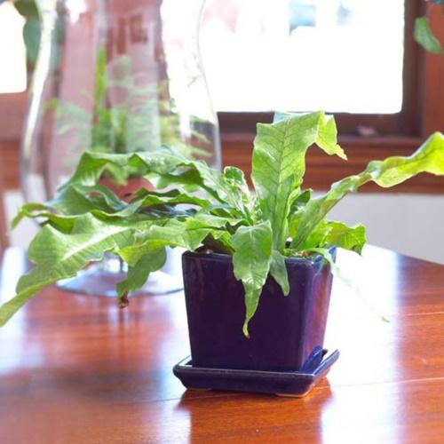 10 loại cây cảnh dễ trồng trong nhà - 7