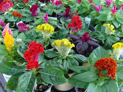 Những loại hoa dễ trồng dễ sống khi đông đến