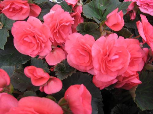 Những loài hoa thích hợp trồng trong giỏ treo - 1