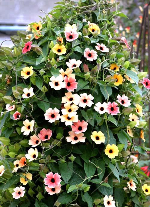 Những loài hoa thích hợp trồng trong giỏ treo - 2
