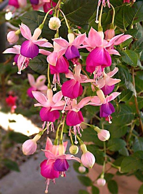 Những loài hoa thích hợp trồng trong giỏ treo - 3