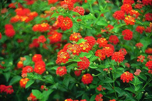 Những loài hoa thích hợp trồng trong giỏ treo - 4