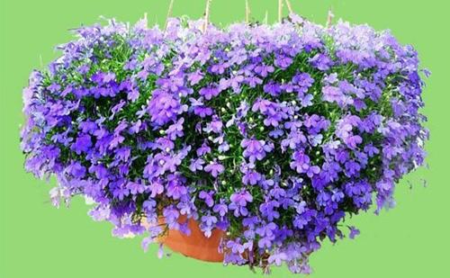 Những loài hoa thích hợp trồng trong giỏ treo - 5