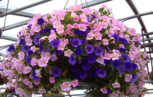 Những loài hoa thích hợp trồng trong giỏ treo - 6