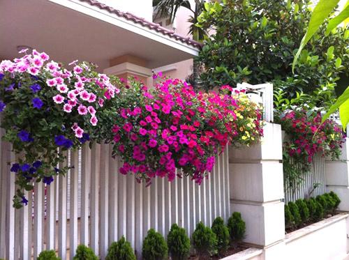 Những loài hoa thích hợp trồng trong giỏ treo - 7