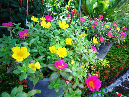 Những loài hoa thích hợp trồng trong giỏ treo - 8