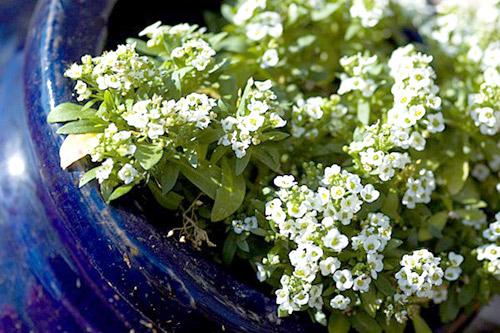 Những loài hoa thích hợp trồng trong giỏ treo - 9
