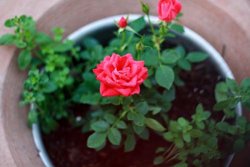 Trồng hoa hồng tại nhà từ khoai tây - 5