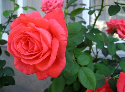 Trồng hoa hồng tại nhà từ khoai tây - 6