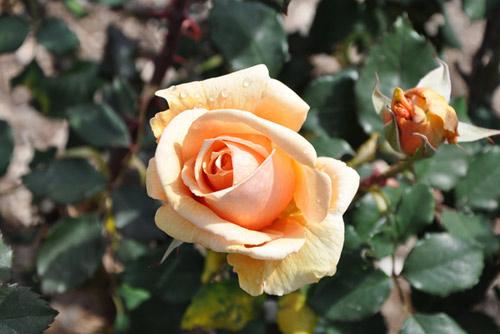 Trồng hoa hồng tại nhà từ khoai tây - 8