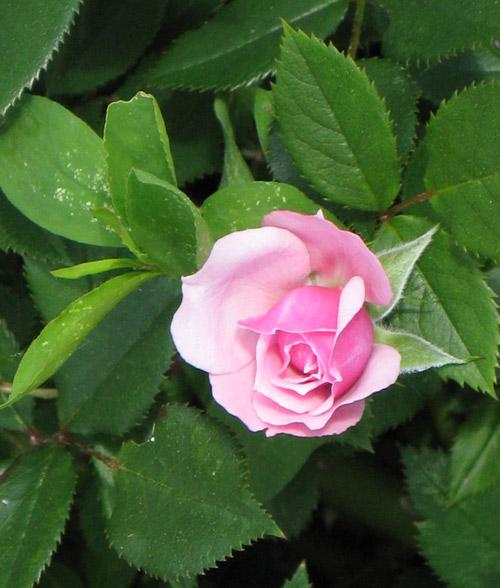 Trồng hoa hồng tại nhà từ khoai tây - 9