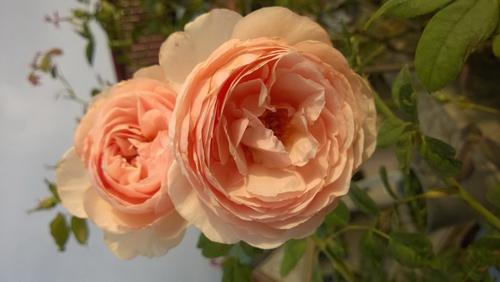 Trồng và chăm sóc hoa hồng đơn giản ngay tại nhà - 1