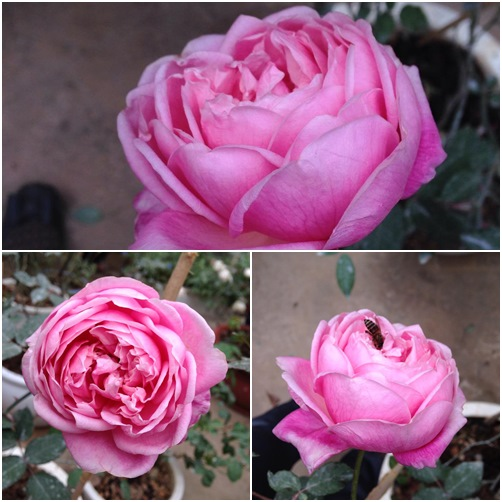 Trồng và chăm sóc hoa hồng đơn giản ngay tại nhà - 2
