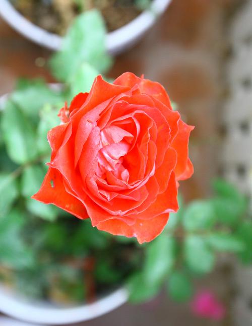Trồng và chăm sóc hoa hồng đơn giản ngay tại nhà - 7