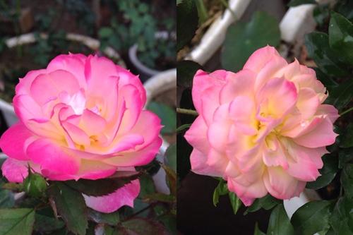 Trồng và chăm sóc hoa hồng đơn giản ngay tại nhà - 8