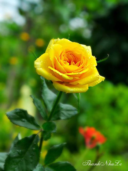 Trồng và chăm sóc hoa hồng đơn giản ngay tại nhà - 9