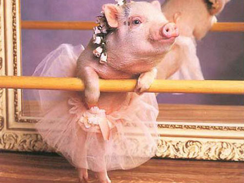 Văn tả lợn xinh như hotgirl mèo dài 3 mét của trẻ tiểu học - 1