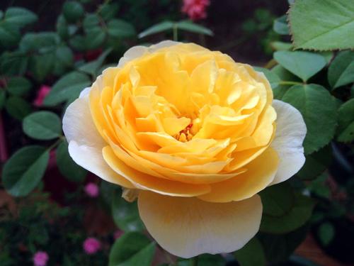 Vẻ đẹp khó cưỡng của các loại hoa hồng - 1