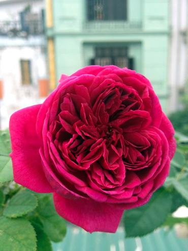 Vẻ đẹp khó cưỡng của các loại hoa hồng - 2