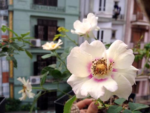 Vẻ đẹp khó cưỡng của các loại hoa hồng - 3