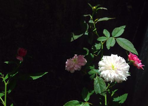 Vẻ đẹp khó cưỡng của các loại hoa hồng - 5