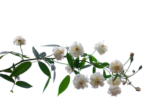 Vẻ đẹp khó cưỡng của các loại hoa hồng - 6