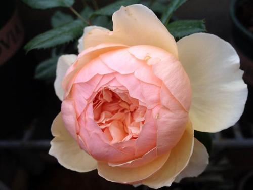 Vẻ đẹp khó cưỡng của các loại hoa hồng - 7