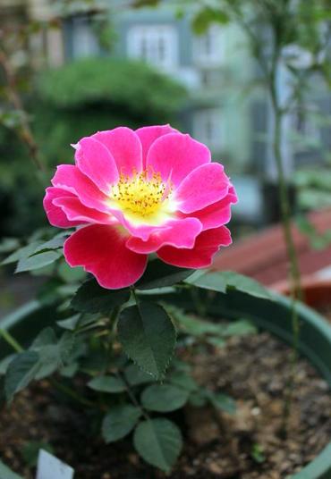 Vẻ đẹp khó cưỡng của các loại hoa hồng - 8