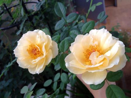 Vẻ đẹp khó cưỡng của các loại hoa hồng - 9