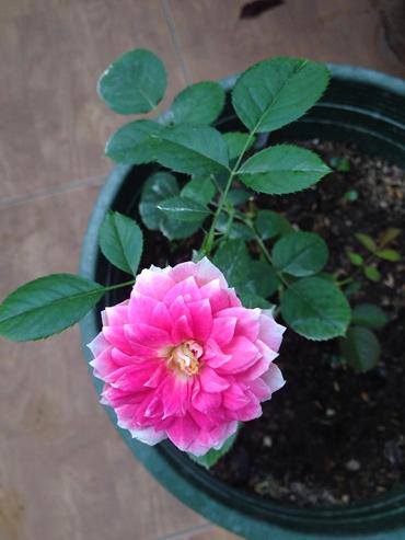 Vẻ đẹp khó cưỡng của các loại hoa hồng - 10