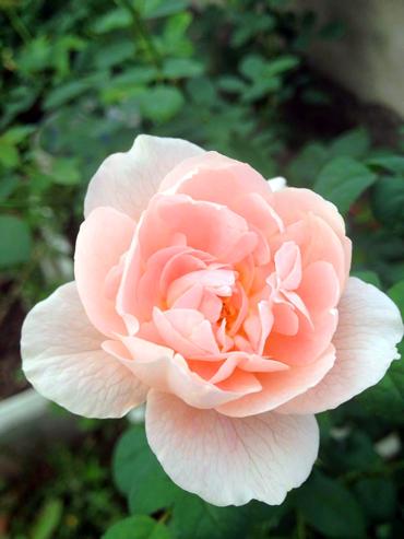 Vẻ đẹp khó cưỡng của các loại hoa hồng - 11