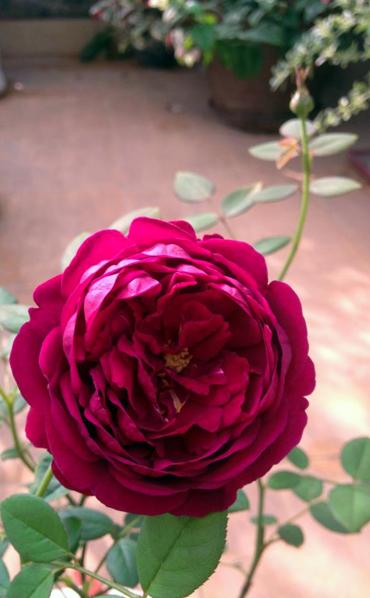 Vẻ đẹp khó cưỡng của các loại hoa hồng - 12