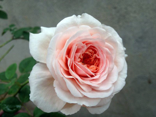 Vẻ đẹp khó cưỡng của các loại hoa hồng - 13