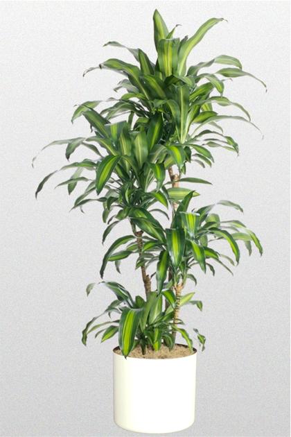 Các loại cây cảnh lớn trồng trong nhà vẫn xanh tốt - 1