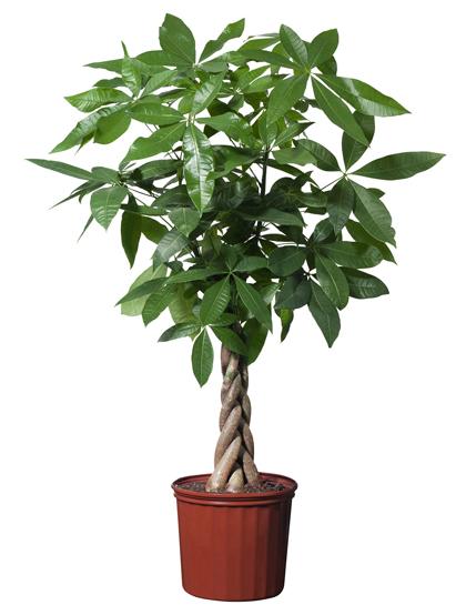 Các loại cây cảnh lớn trồng trong nhà vẫn xanh tốt - 2