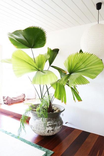 Các loại cây cảnh lớn trồng trong nhà vẫn xanh tốt - 3