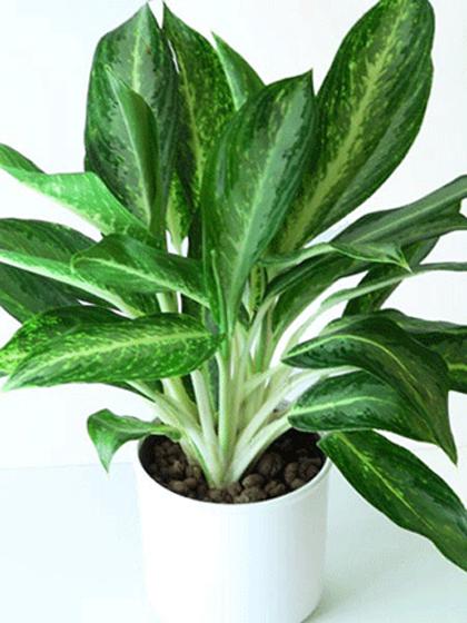Các loại cây cảnh lớn trồng trong nhà vẫn xanh tốt - 5