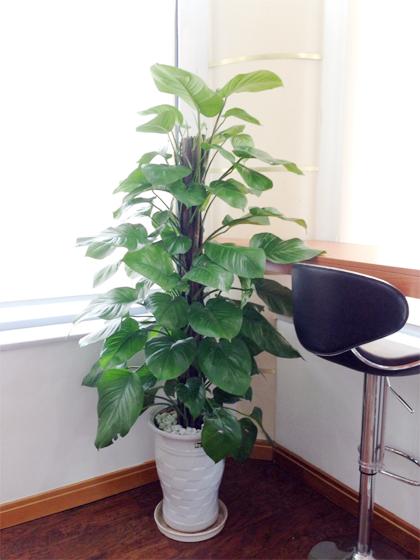 Các loại cây cảnh lớn trồng trong nhà vẫn xanh tốt - 6