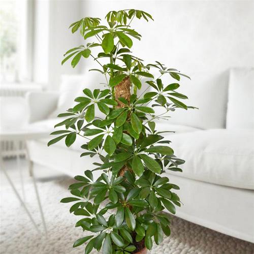 Các loại cây cảnh lớn trồng trong nhà vẫn xanh tốt - 7
