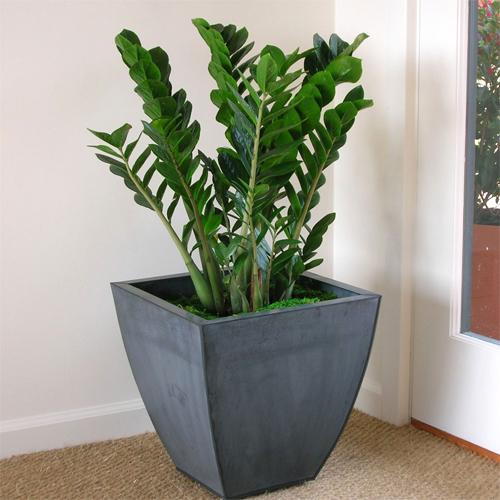 Các loại cây cảnh lớn trồng trong nhà vẫn xanh tốt - 8