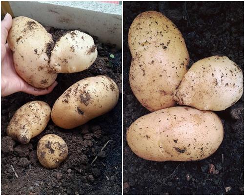 Kinh nghiệm 4 năm trồng rau thùng xốp của đôi vợ chồng trẻ - 4